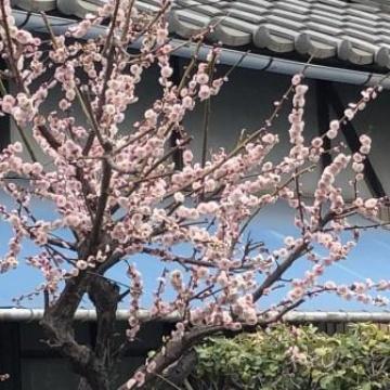 □梅の花❀開花□