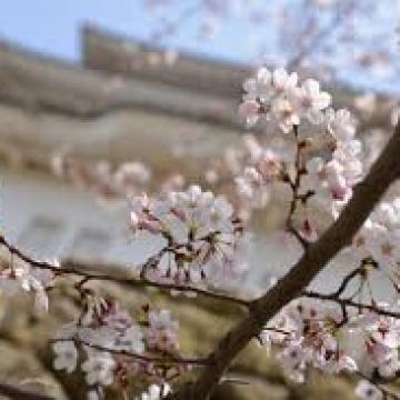 🌸お花見~桜~ムクフローリング🌸