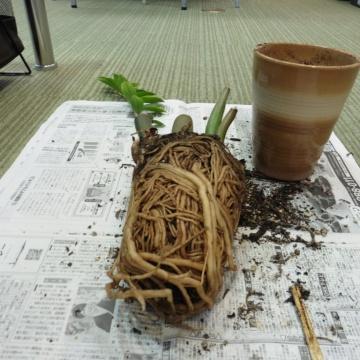 ■観葉植物の植え替え■